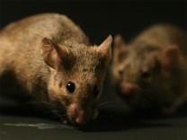Wie Mäuseriche Weibchen locken