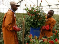 Krise in Kenia: Zucht von Export-Rosen bisher kaum beeinträchtig