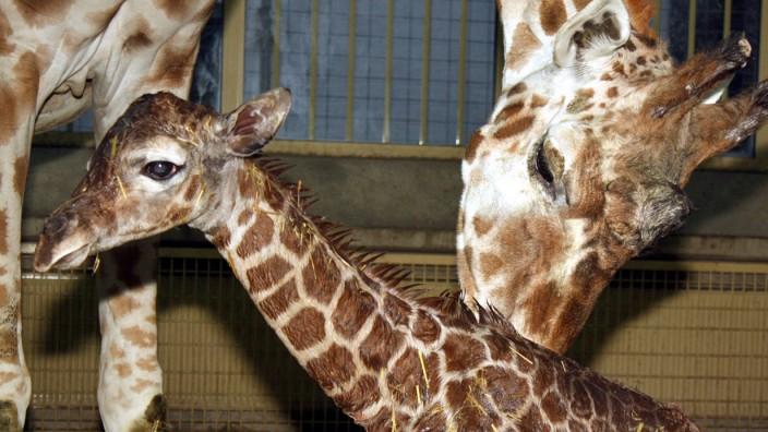 Giraffenkind nuru ist tot