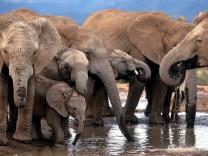 Sieg für Elefanten - kein Elfenbeinverkauf