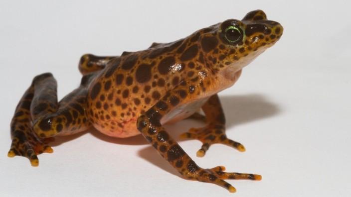 Ein Stummelfuß- oder Harlekinfrosch der Art Atelopus certus. Wissenschaftler versuchen, die Kolonien von Amphibien in Panama zu erhalten, die von einem Pilz bedroht sind.