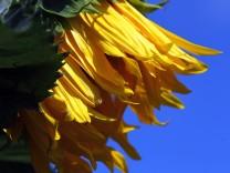 Maisach: Sonnenblumen auf einem SONNENACKER