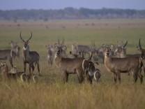 Gnus im Gorongosa-Nationalpark in Mosambik