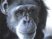 Schimpanse, Reuters