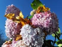 Blühende Freilandhortensie