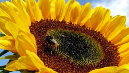 Sonnenblume, AP