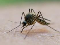 Mücken, die den Malaria-Erreger tragen, werden vom menschlichen Schweißgeruch besonders stark angezogen