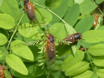 Cicadas Emerge in Eastern USA