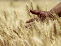 A farmer harvests wheat on a field in El-Menoufia