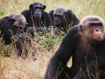 Schimpansen