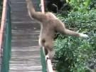 Affe balanciert über Hängebrücke (Vorschaubild)