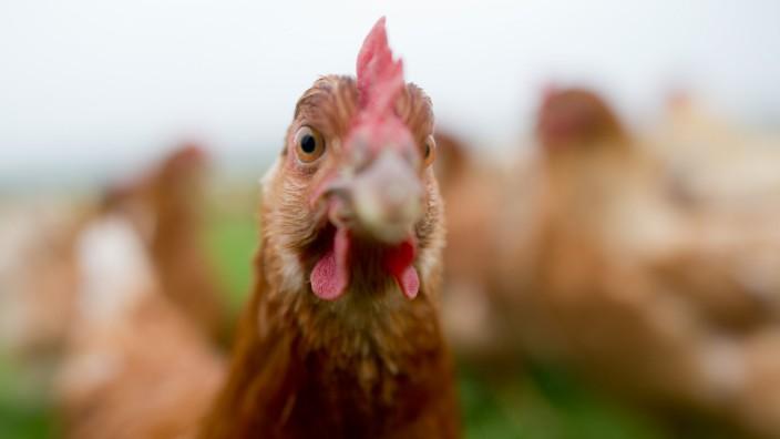 Freiland-Hühner Neuland