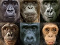 Menschenaffen haben sehr verschiede Persönlichkeiten