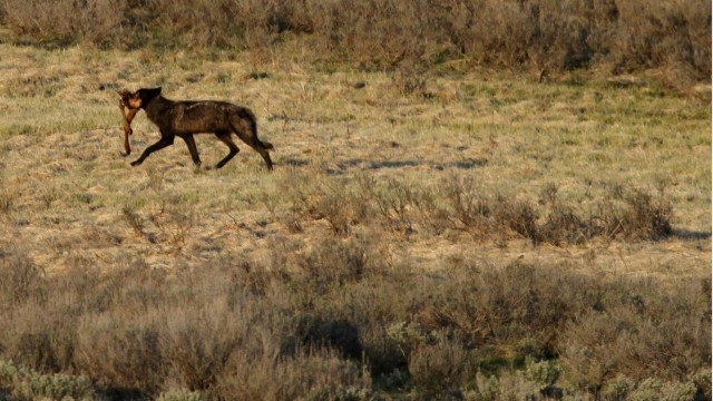 A wolf walks with a set of elk legs in the Hayden Valley after killing and eating it in Yellowstone National Park