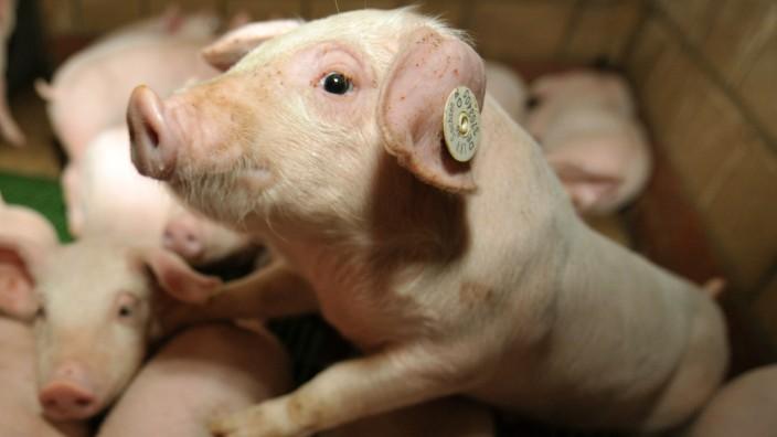 Schweinezucht in Bieste