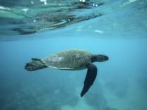 Eine grüne Meeresschildkröte vor Hawaii
