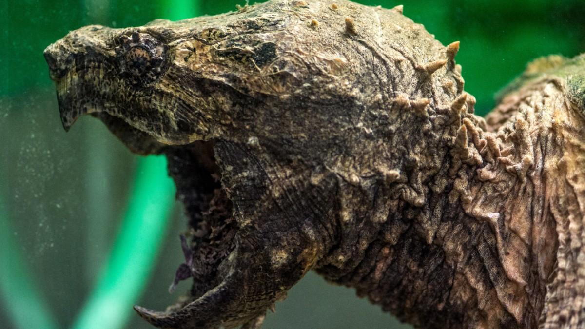 Weiher Schildkröte Beißt Jungen Achillessehen Durch Bayern