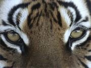 Tiger, Reuters