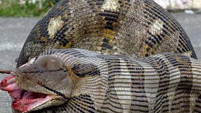 Python Pythonplage in den USA