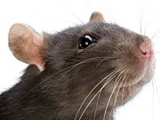 Ratte, Stress, iStock