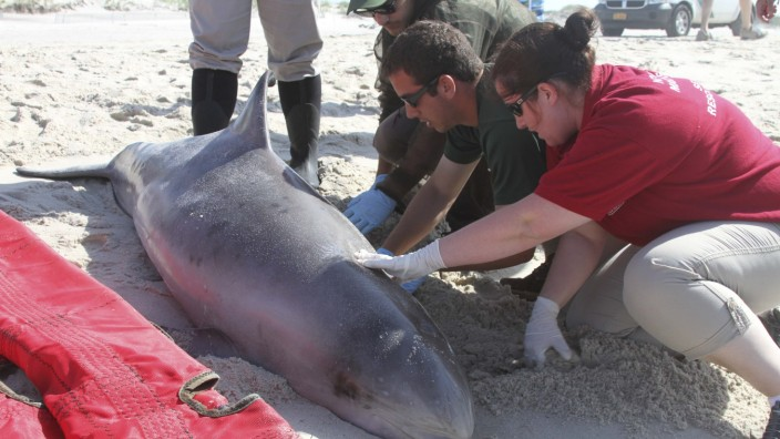 File photo of Officials examining a dead bottlenose dolphin that washed ashore on the Long Island New York