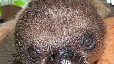 Faultier Baby Von Pflegern Aufgezogen Ein Neuer Brauner Knut