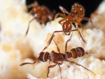 Eine Diebesameise (Megalomyrmex symmetochus) (oben) greift eine Gnamptogenys-Ameise (Gnamptogenys hartmani) an