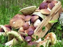 Für Pilzsammler ist jetzt Saison