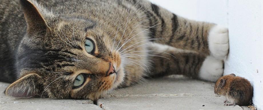 Wenn eine Maus sich mit Toxoplasma infiziert hat, dann verliert sie die Angst vor dem Katzengeruch - und wird so zur leichten Beute