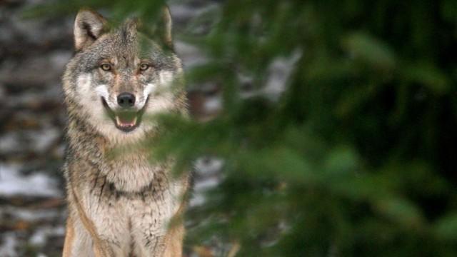 Immer mehr wilde Wölfe in Brandenburg