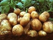 Genkartoffel Amflora, Foto: dpa