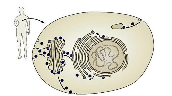 Transportsystem der Zellen