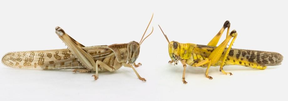 Verhaltensbiologie - Die zwei Leben der Heuschrecke - Wissen ...