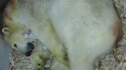 Eisbären hellabrunn