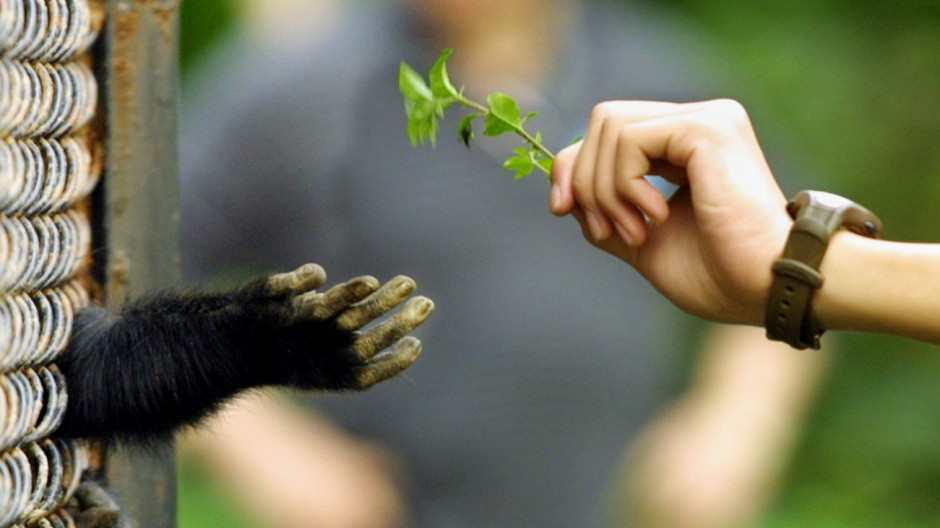CHIMPANZEE RECEIVES A PLANT STEM FROM A VISITOR AT A GUANGZHOU ZOO