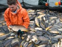 Fischzug der Peitzer Karpfenfischer