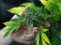 A fully budded marijuana plant ready for trimming is seen at the Botanacare marijuana store ahead of their grand opening on New Year's day in Northglenn, Colorado