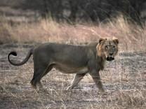 Löwe in Benins Pendjari-Nationalpark