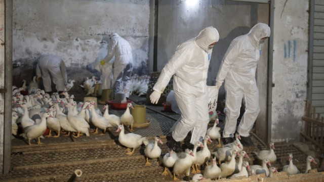 Health officials in protective suits transport sacks of poultry as part of preventive measures against the H7N9 bird flu at a poultry market in Zhuji