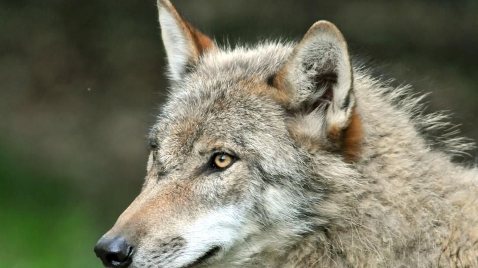 Baden-Württemberg ist gerüstet für den Wolf
