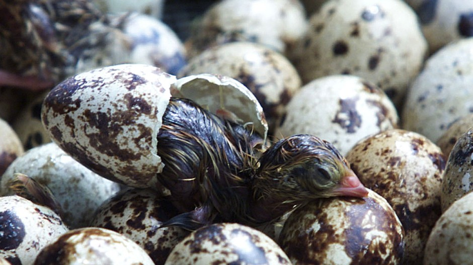 A QUAIL HATCHES FROM AN EGG IN ANGTONG