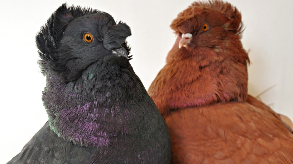 These English trumpeter pigeons -- blue-black on the left and red on the right -- display some of the great diversity of colors among some 350 breeds of rock pigeons. University of Utah biologists discovered three major genes explain color variations in r