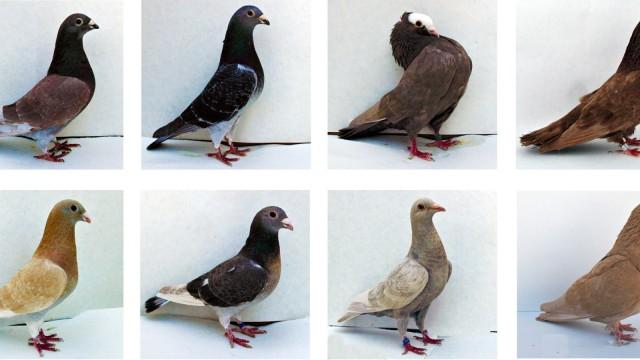 Tauben Farben