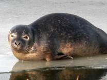 Seehund mitten in Mecklenburg