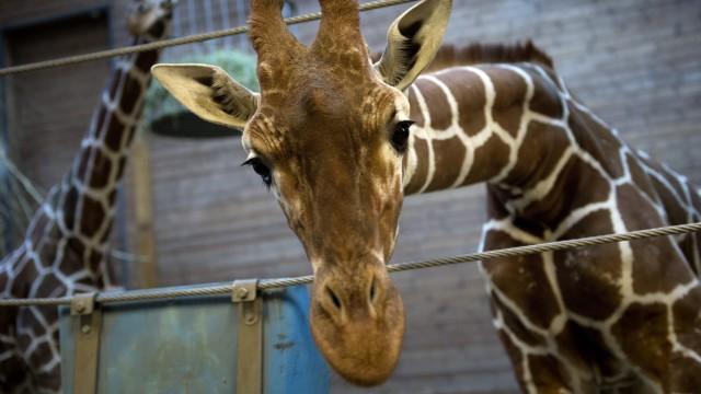 Giraffe Marius Zoo Kopenhagen