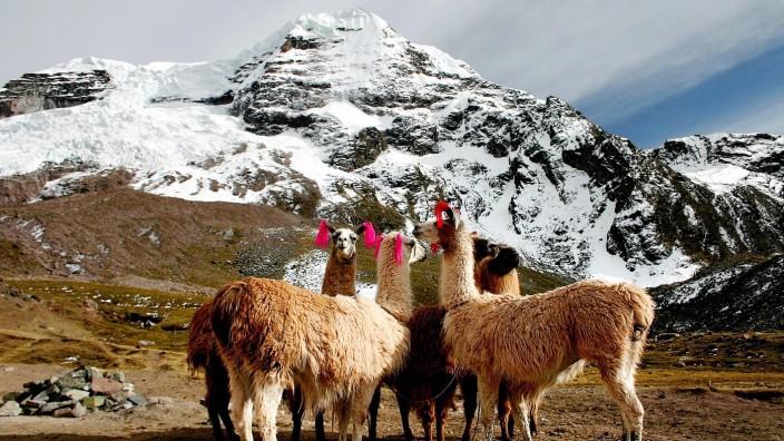 Alpakas Peru Südamerika Ausangate