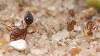 Crazy ants (on the right) coat themselves with formic acid to neutralize the venom of the fire ant (at left).