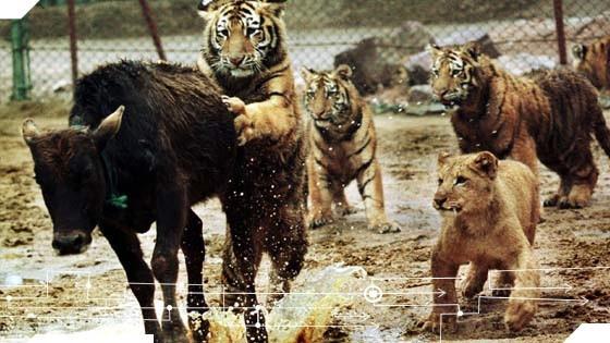 tiger tt