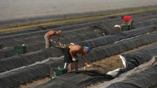 Workers Harvest Asparagus In Beelitz Region