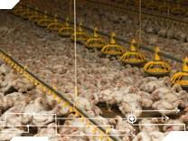 Hühner Massentierhaltung